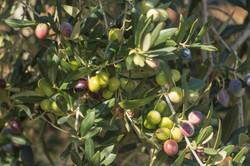 Оливки созревают