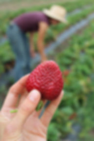 strawberry field.JPG