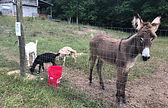 Renzi & goats.JPG