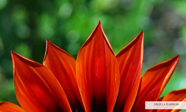 fire petals.jpg