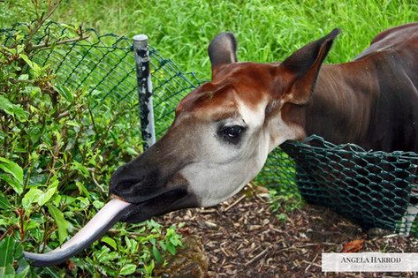 Okapi tongue.jpg