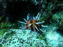 Slate Pencil Urchin.jpg