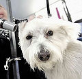 dog, wet dog, blow dry dog, hand blow dry dog, westie, west highland terrier