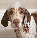 dog wash, dog bath, dog bathing, dog shampoo, bubbles on dog head