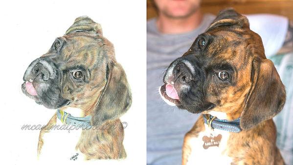 Realistic Life Like Colour Pencil Pet Boxer Dog Portrait Drawing Commission