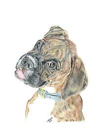 Realistic Colour Pencil Boxer Dog Drawing Portrait