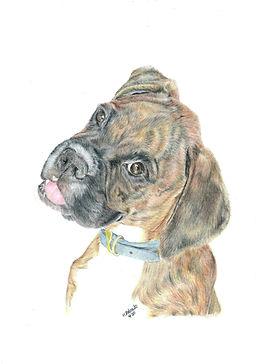 Realistic Life Like Colour Pencil Boxer Dog Portrait Drawing Commission