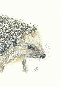 Realistic Life Like Colour Pencil Hedgehog Animal Wildlife Portrait Drawing Commission