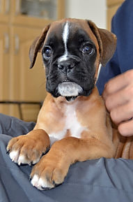 Boxer Puppy Reference Picture
