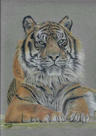 Realistic Life Like Colour Pencil Sumatran Tiger Drawing Portrait