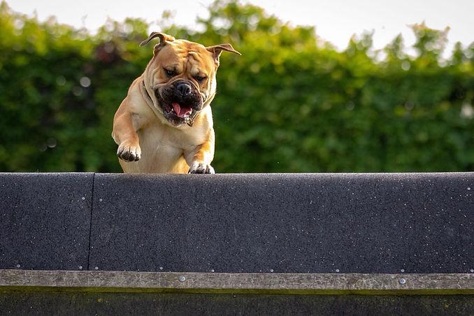 Continental Bulldog Grümmer's