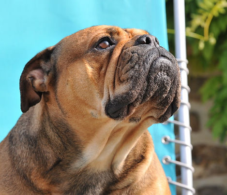 Margeta's Carlotta-Continental Bulldog.J