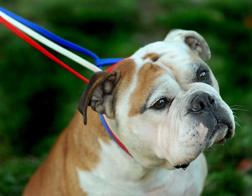 Continental-Bulldog-Pickwick-Nelson.jpg