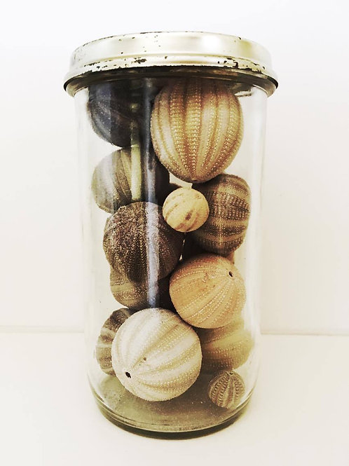 Vintage Jar Containing Real Sea Urchins
