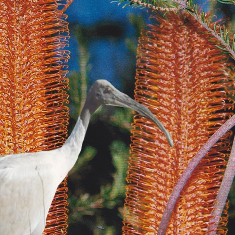 Bin chicken or urban genius? How ibises have us humans all figured out