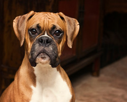 boxer-dogs-puppies-4