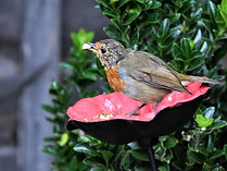 Robin on poppy_2 (1).jpg