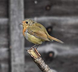 Robin on branch (1).jpg