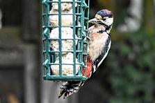 Woodpecker fat balls 1_3 (1).jpg