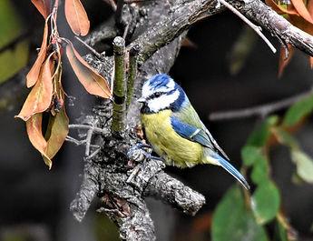 Blue Tit Left.jpg