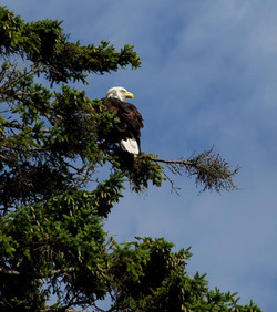 Eagle in Front Yard