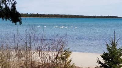 Swans at Bell Bay Beach