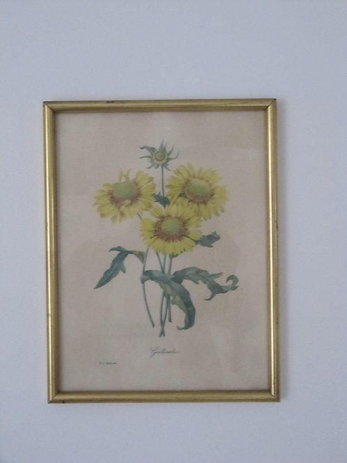 Gravure encadrée vintage  fleur tournesol-