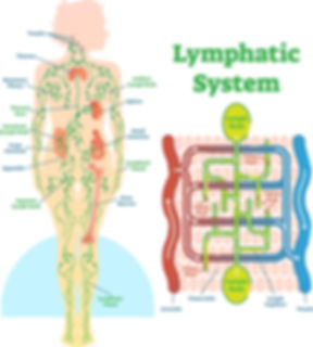 lymphaticsystem_edited.jpg