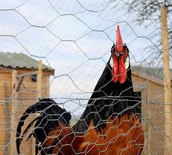Washingpool Chickens