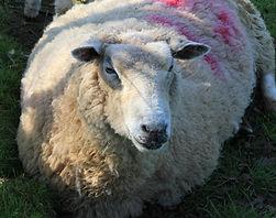 Washingpool Sheep