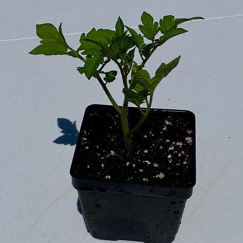 Tomato - Sungold