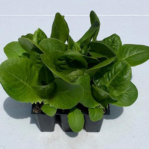 Lettuce - Little Caesar Romaine