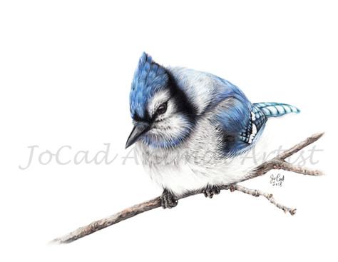 Geai bleu watermark.jpg