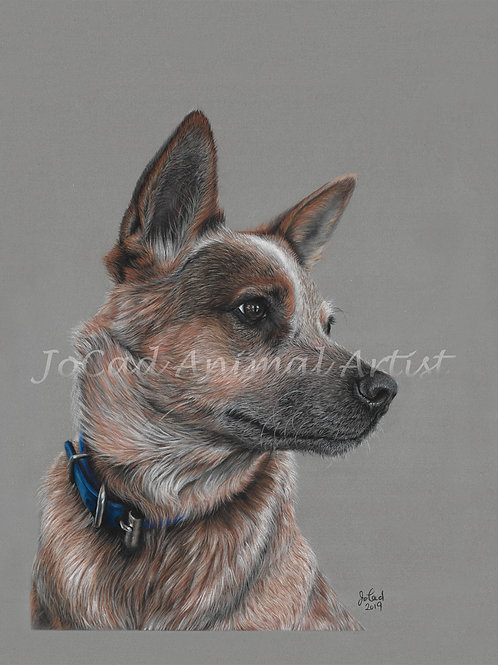 Love me some red heeler - limited edition print