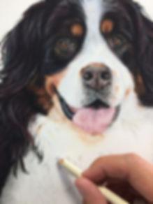 Bernese mountan dog portrait
