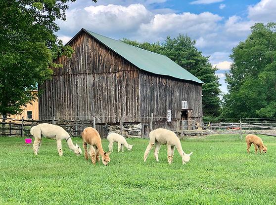 A4 Alpacas grazing_Web.jpg