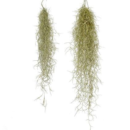 Spaans mos of Tillandsia Usneoides