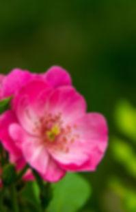 FMO_wild rose.jpg