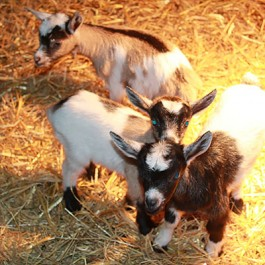 Baby-Goats-265x265