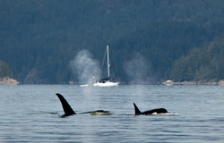Orcas in Collingwood Channel 1