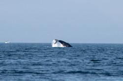 Gray Whale in Georgia Strait 1