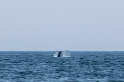 Gray Whale Tail 1