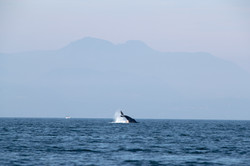 Gray Whale in Georgia Strait 2