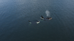 Orcas in Collingwood Channel 2