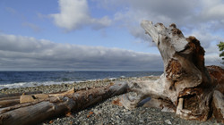 Old Tree, Young Waves