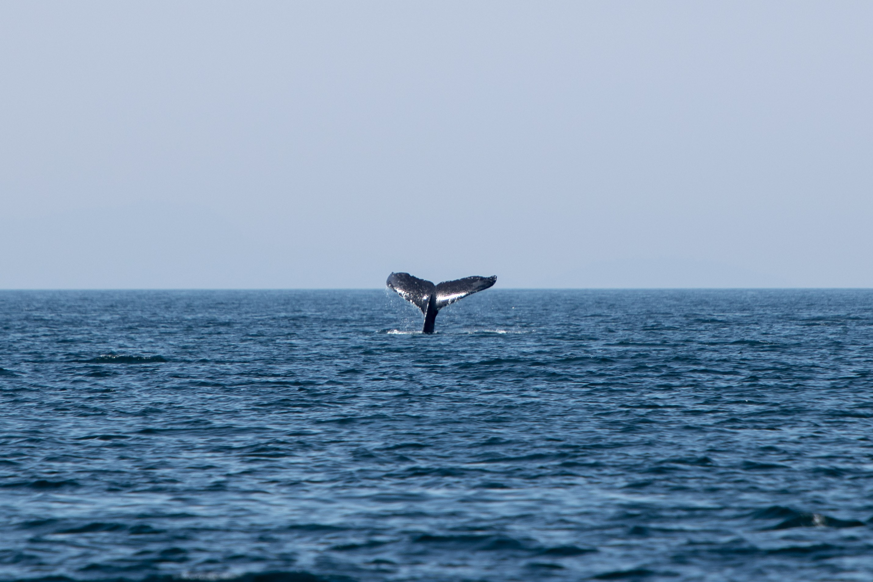Gray Whale Tail 2
