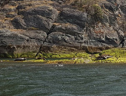 Seals at Thornmanby Island