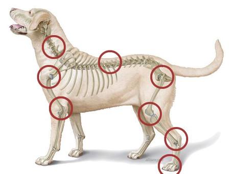 Artrose/artritis bij de hond: Een goede maaltijd