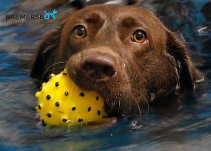 hydrotherapie labrador