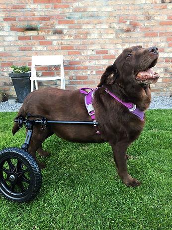 rolwagen / karretje voor labrador max